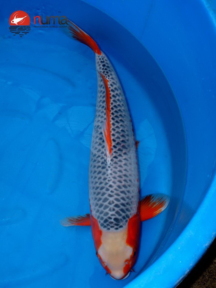 Koi carps gallery numa for Koi fish food for sale