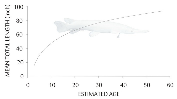 Graph Of Average Platinum Alligator Gar S Growth