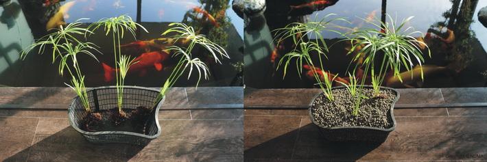 Water Lily Akadama použitý na zasadenie vodných rastliniek.