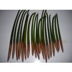 Mangrove sadenica