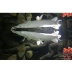 Platinum Alligator Gar