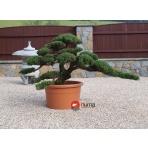 Juniperus chinensis Yatowaga