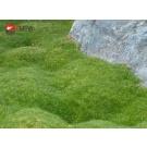 Pokryvná trvalka - zelená