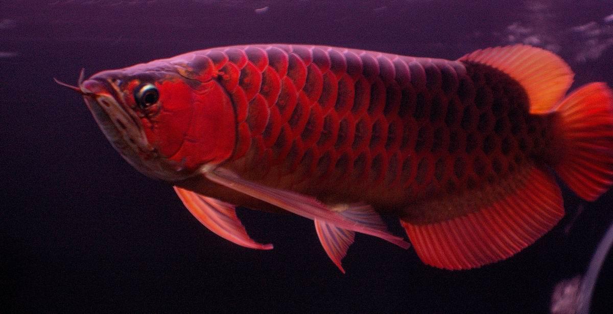 Arowana fish price in bangalore dating 7