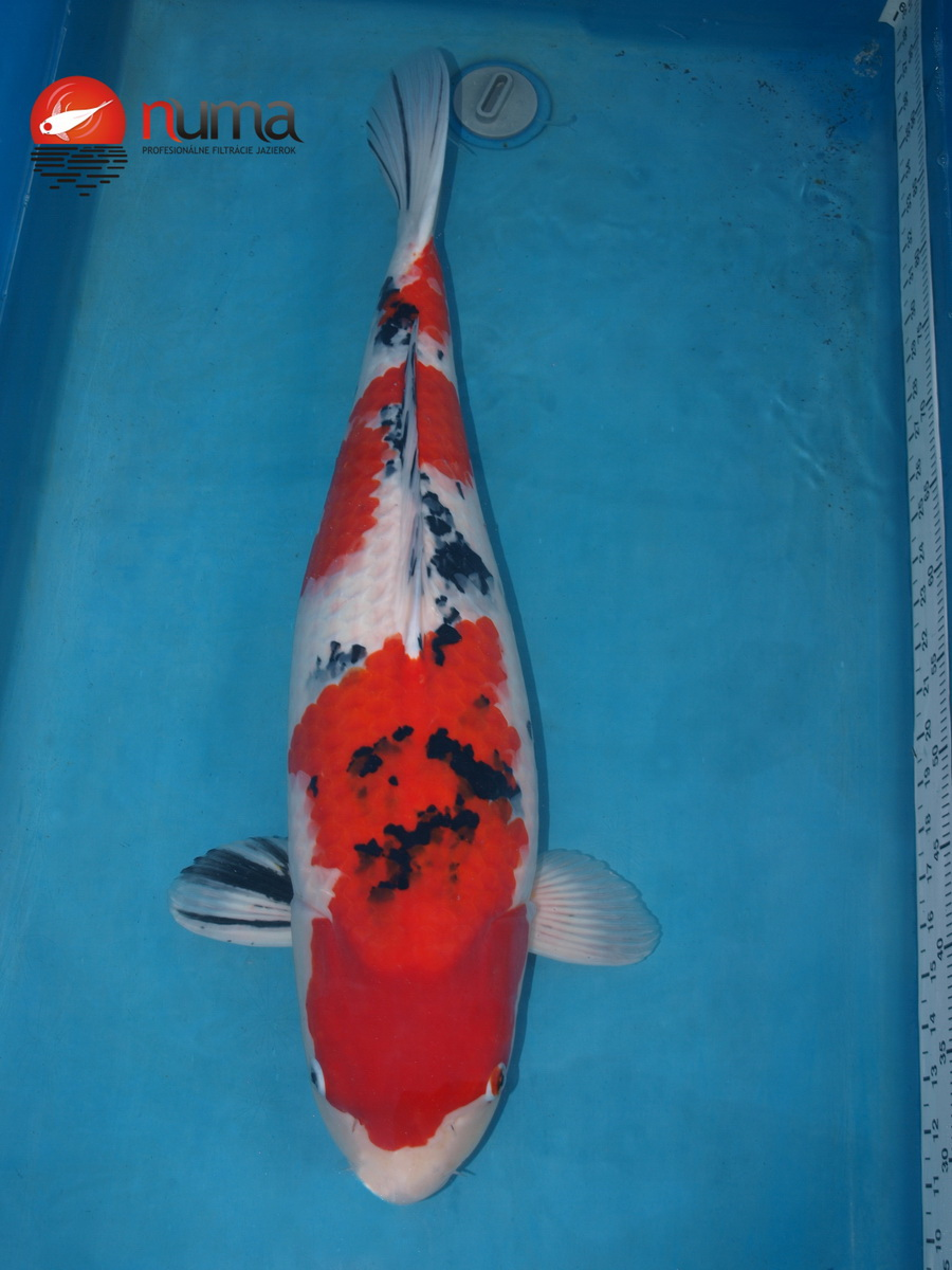 Koi sanke numa for Sanke koi fish