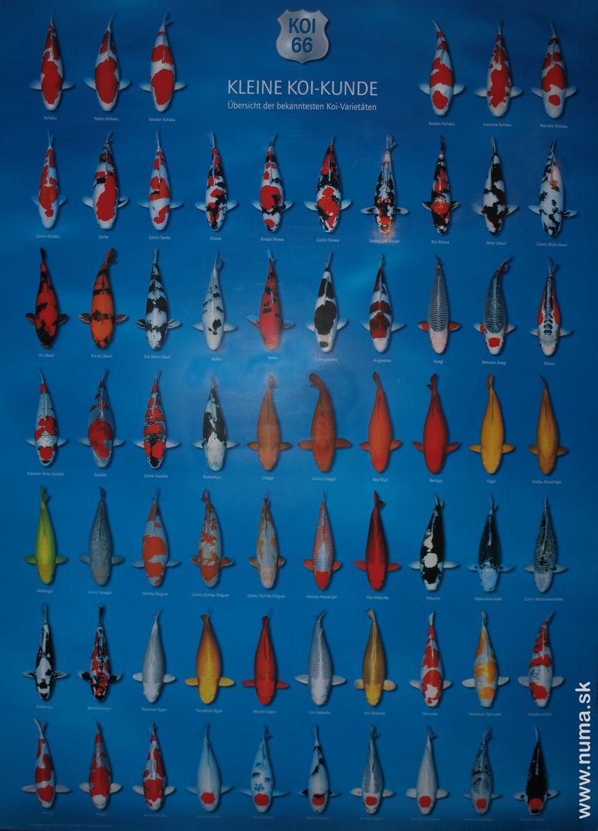Poster 66 koi numa for Koi variety chart