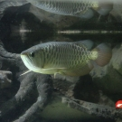 Golden asian arowana.