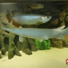 Incredible gar`s growth during 5 months: from 45cm to 75cm.