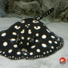 Freshwater female stingray – Leopoldi Black Diamond.